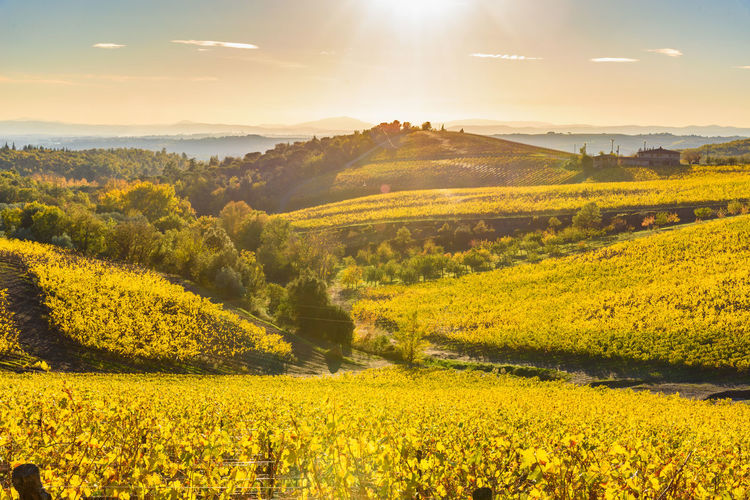 Autumn Tuscany Agriculture Beauty In Nature Chianti Countryside Crop  Day Field Growth Idyllic Landscape Mustard Plant Nature No People Oilseed Rape Outdoors Rural Scene Scenics Season  Sky Sun Sunlight Sunset Tranquil Scene Tranquility Villa A Sesta Vineyard Yellow