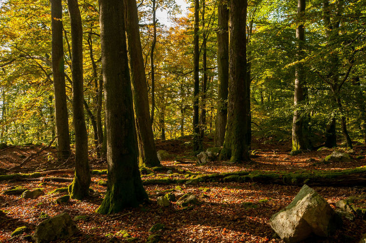 Autumn Autumn Colors Backlit Change Day Forest Forrest Green Color Growth Herbst Herbstfarben Herbststimmung Hunsrück Leading Light Light And Shadow Moss Nationalpark Nationalpark Hunsrück-Hochwald Outdoors Rock Shadow Stone Tree Trunk Wald
