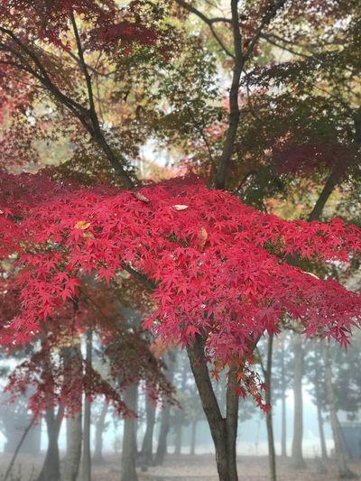 霧の紅葉 紅葉 霧 Tree Plant Growth Beauty In Nature Nature Branch Red