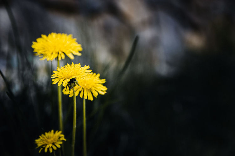 Yellow Stains Flower Yellow Flowering Plant Vulnerability  Freshness Fragility Flower Head Beauty In Nature Inflorescence Growth Petal Plant Close-up Nature Focus On Foreground Pollen No People Botany Day Dandelion Outdoors Springtime Softness Bokeh Sharp Crisp Nikon D7500 Dark Art Concept Photography Contrast EyeEm Best Shots EyeEmNewHere EyeEm Nature Lover EyeEm Gallery Beauty In Nature Wallpaper Backgrounds