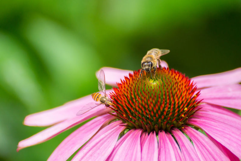 Close-Up Of Bees Pollinating On Eastern Purple Coneflower