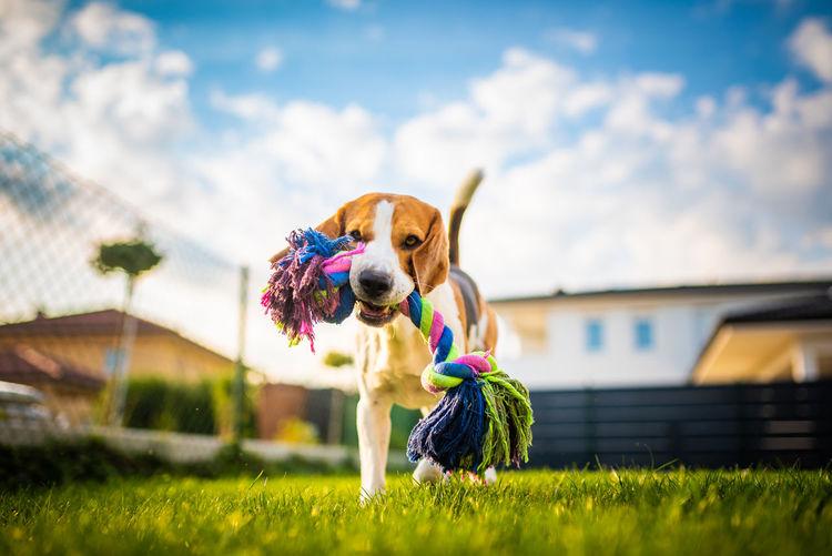 Dog in a backyard playing