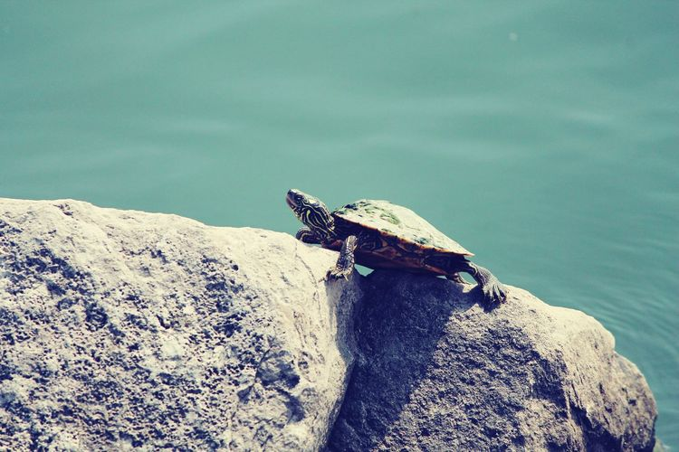 High Angle View Of Turtle On Rock By Sea