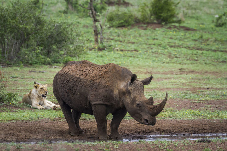 Rhinoceros drinking water