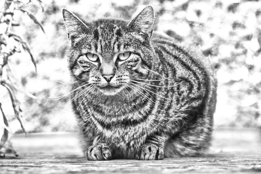 Auf Dem Sprung Blackandwhite Cat Close-up Feline Getigert Getigerte Katze Green Backdrop Katze Katze Frontal Looking At Camera No People Portrait Sceptical Look Tabby Cat Unscharfer Hintergrund