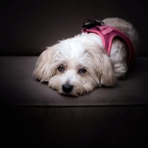 Portrait of dog relaxing on floor