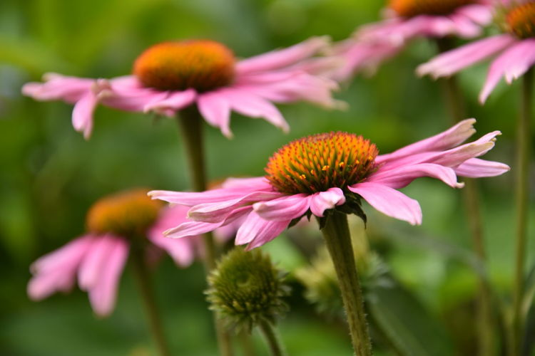 beautiful pink flowers Flowers,Plants & Garden Beauty In Nature Close-up Coneflower Day Flower Flower Head Flowering Plant Flowers Focus On Foreground Fragility Freshness Growth Inflorescence Nature No People Outdoors Petal Pink Color Pink Flower Plant Plant Stem Pollen Vulnerability
