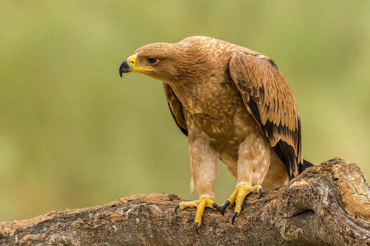 Aquila Adalberti Animal Animal Themes Animal Wildlife Animals In The Wild Bird Bird Of Prey Day Focus On Foreground Nature No People One Animal Outdoors Vertebrate