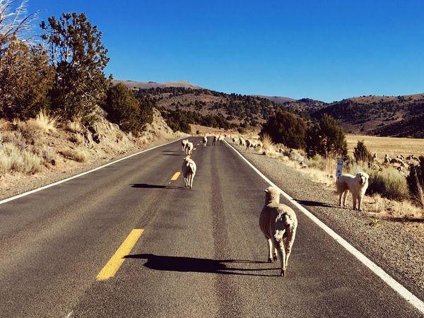 Sheep Sheep Road Domestic Animals Animal Themes Transportation Day The Way Forward Outdoors Clear Sky Sunlight Dog Asphalt