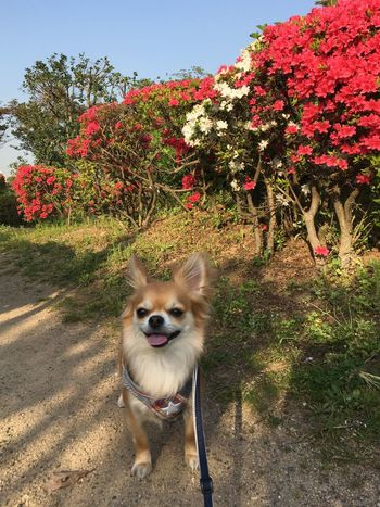 Dog Pets Domestic Animals One Animal Animal Themes Growth Tree Mammal Day Flower Outdoors Plant No People Nature Sky Niko 2yearsold  Chihuahua Family