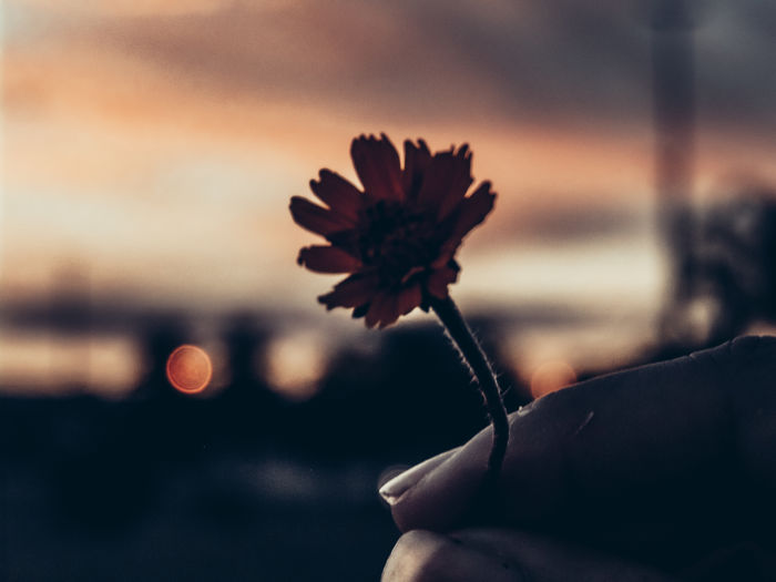 Close-up of hand holding flowering plant against sky during sunset