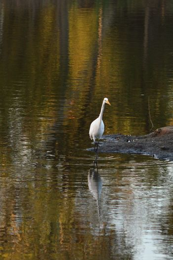 Egret Fishing Egret Bird Reflection Water Water Reflections Nature On Your Doorstep Kit Carson Park