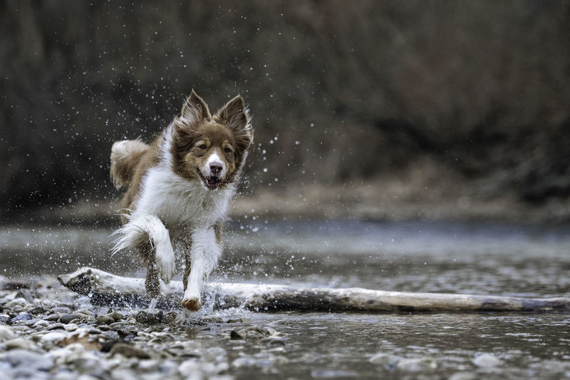 Dog Running In River