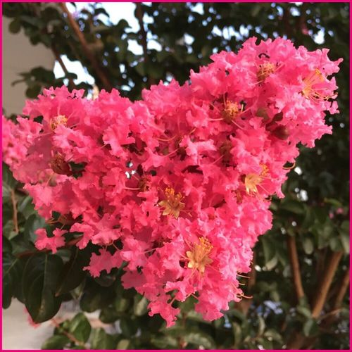 Just another heart flower 💖🌺💖 Heart Flower Loveintheflowers💜 Flower Flowers Asign Tranquility Nature Pinkflowerseries🌷 Beautiful