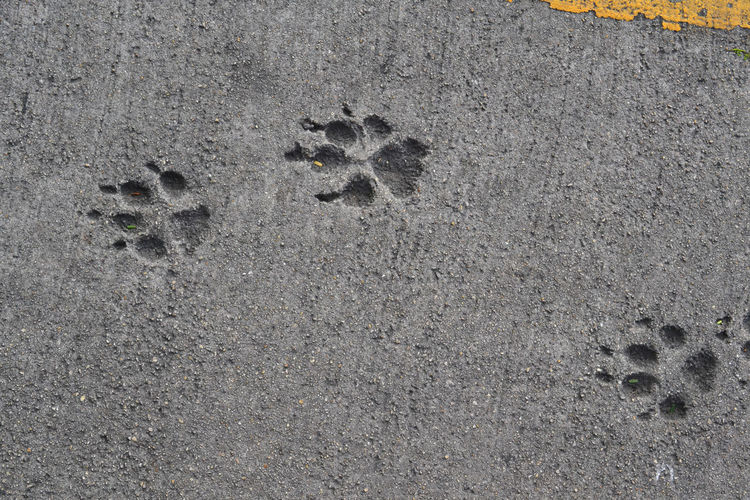 High Angle View Of Paw Prints On Road