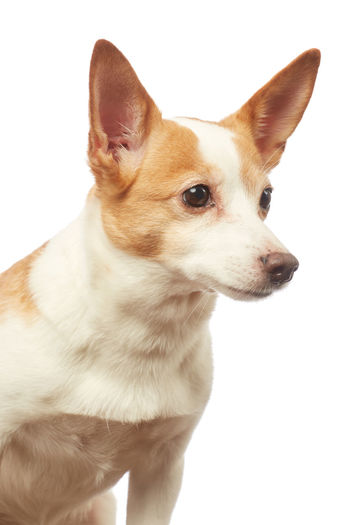 Close-up of a dog looking away against white background