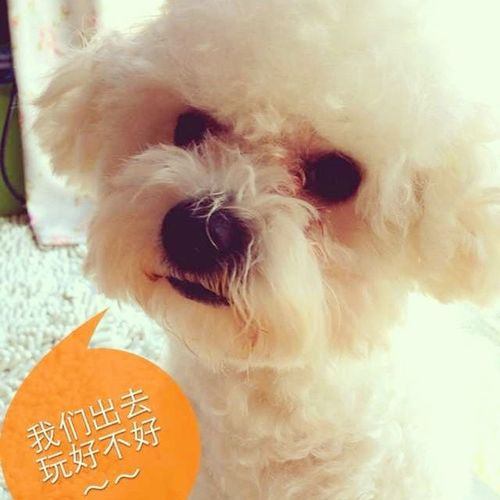 Cute Dog Bichon