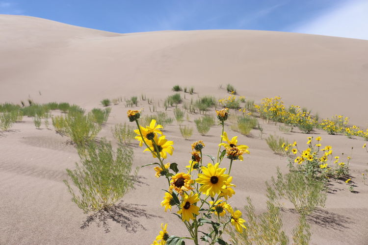 Yellow flowering plants on sand against sky