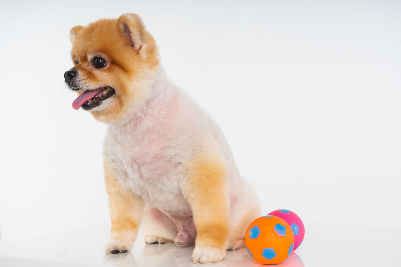 Isolated closeup portrait Pomeranian dog smiling with funny face on the white background. Studio shot of small brown puppy Mammal Animal Themes Animal Pets Vertebrate Studio Shot Canine Dog White Background Mouth Open Sticking Out Tongue Sitting Adorable Dog