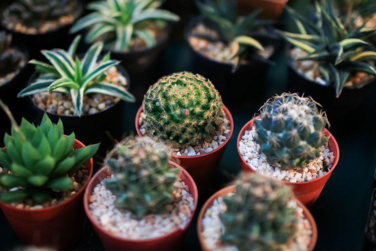 Close-up of succulent plants in pot