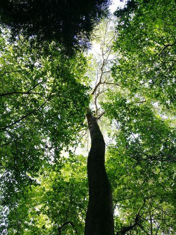 A bit of sunshine up there today Nature Blooming Beauty In Nature Leica Huawei P9 Tree Tree Growth Green Color Nature Outdoors Low Angle View Day No People Sunlight Branch Tree Trunk Shadow Beauty In Nature Forest