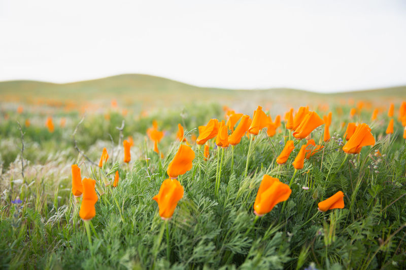 Poppy reserve in Antelope Valley, California California Superbloom 2017 Beauty In Nature California Poppies California State Flower Day Field Flower Landscape Orange Color Orange Poppy Poppies  Poppy Field Poppy Flower Poppy Flowers Rural Scene
