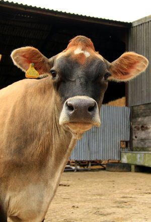 Sussex Coast Animal Themes Bovine Cattle Close-up Cow Cow Farm Cow Portrait Day Domestic Animals Domesticated Animal Tag Farm Animal Close Up Livestock Looking At Camera Mammal Nature No People One Animal Outdoors Portrait Uk