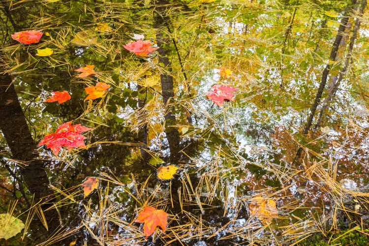 High angle view of maple leaves on tree by lake