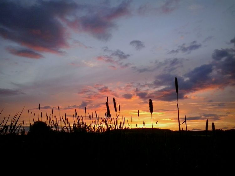One more Beautiful Sunset in a Cornfield. Like This