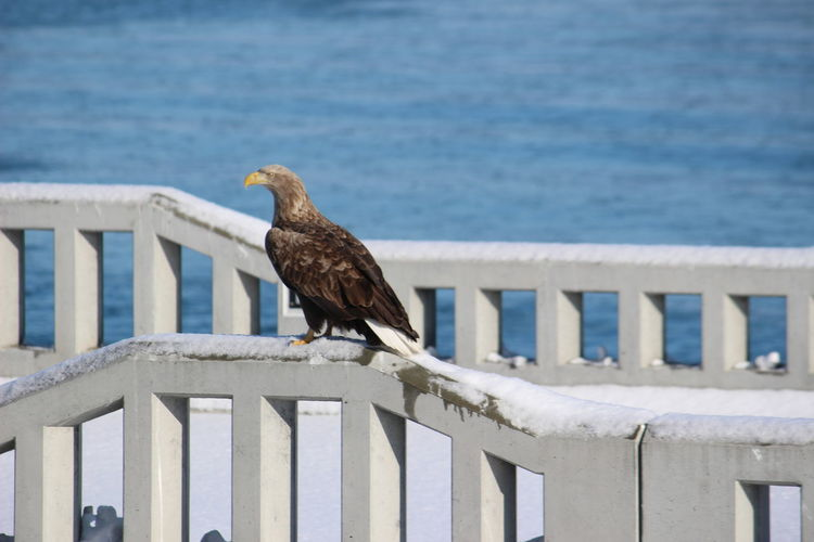 Steller's sea eagle perching on wooden post