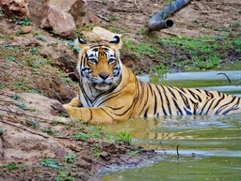 Sariska Tiger Reserve One Animal Animal Themes Wildlife Animals In The Wild Tiger Safari Animals Forest Endangered Species Mammal Undomesticated Cat Field Zoology Zoo Big Cat Outdoors Captive Animals Animal Head  Cat Family Nature Day