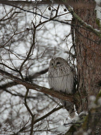 It's my first time to see a owl in wild. about 3 years ago. Animal Themes Animal Wildlife Animals In The Wild Bird Nature No People One Animal Outdoors Owl Tree Shades Of Winter