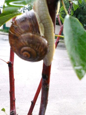 @wolfzuachis Ionitaveronica Crawling Wolfzuachis Critter Showcase: October Showcase: 2016 Eyeem Market Snail Critters Shell Critters Of EyeEm Edited By @wolfzuachis Herbivorous Focus On Foreground Close-up Shells After Rain Critterz Branch Streetphotography Street Photography Plant Green Animal
