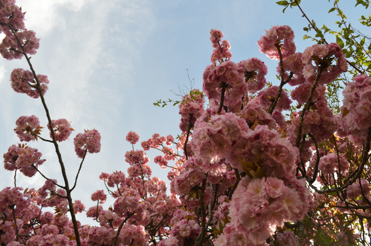 flower, tree, growth, nature, fragility, blossom, beauty in nature, low angle view, pink color, no people, branch, springtime, freshness, day, outdoors, plant, close-up, blooming, sky, flower head