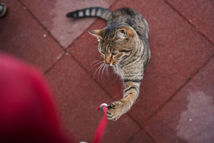 High angle view of tabby looking away on footpath