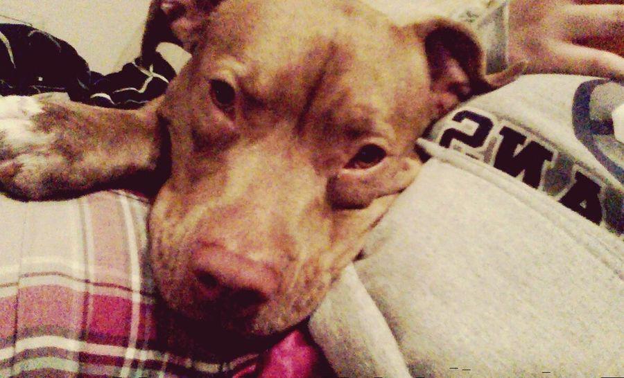 Love cuddles w/ my daisy baby Pitbull Dontbullymybreed Dontbullymypitbull