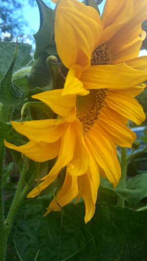 Summer Flower Yellow Color Blue Sky Like Sun Golden Moments