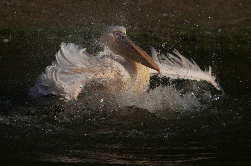Pelican flapping wings at lake