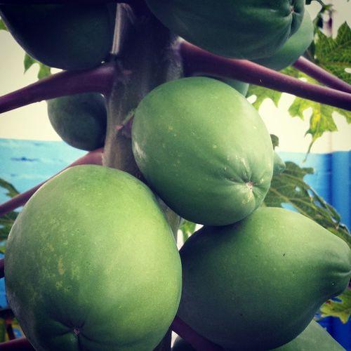 Ripen Papayas Yummo Gofruityourself