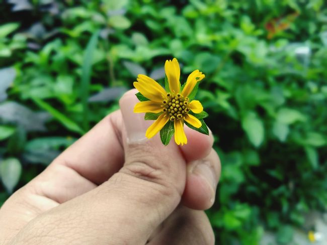 Human Hand Flower Head Flower Yellow Petal Holding Springtime Personal Perspective Close-up Plant