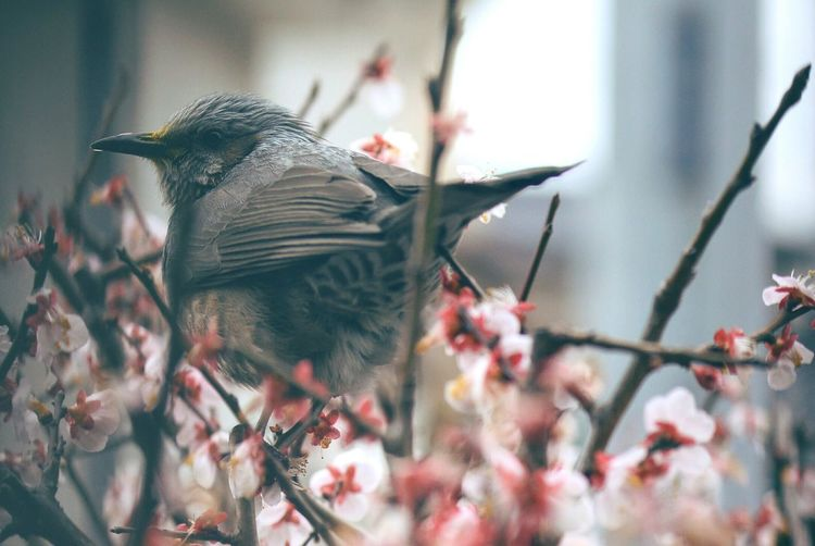 Close-Up Of Bird Perching On Plum Blossoms Outdoors