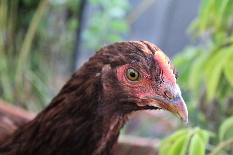 Meet teriyaki the chicken Animal Animal Body Part Animal Eye Animal Head  Animal Themes Animal Wildlife Animals In The Wild Beak Bird Close-up Day Focus On Foreground Looking Looking Away Nature No People One Animal Outdoors Profile View Side View Vertebrate Young Bird