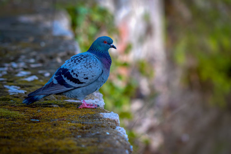 Animal Themes Bird Animal Vertebrate Animal Wildlife Animals In The Wild One Animal Solid Day Rock No People Perching Rock - Object Selective Focus Pigeon Close-up Nature Focus On Foreground Outdoors Wall