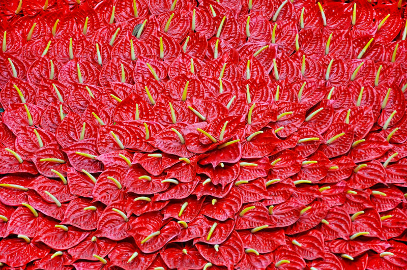 Background with red flamingo lily flowers, Anthurium andraeanum Anthurium Andraeanum Anthurium Flower Asian  Flower Arrangement Flowers,Plants & Garden Natural Pattern Vietnam Anthurium Anthuriums Flower Flower Background Flower Collection Flower Head Flower Photography Flowerlovers Flowers Flowers, Nature And Beauty Flowers_collection Hanoi Natural Background Pattern Red Background Red Color Red Flamingo Lily Flower Red Flower