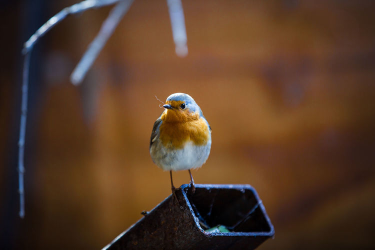 Robin starting to build nest Animal Animal Themes Animal Wildlife Animals In The Wild Bird Close-up Day Focus On Foreground Front View Nature No People One Animal Outdoors Perching Robin Robin Redbreast Robin Redbreast UK Selective Focus Songbird  Vertebrate Wood - Material Zoology