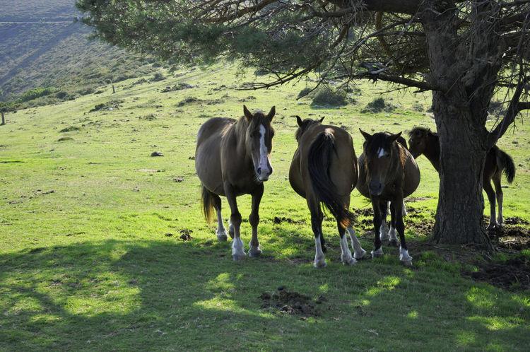 Hospitales CaminodeSantiago Caminoprimitivo Cordillera Countryside Domestic Animals Green Color Horses Mountain Savage Top Tranquility Tree