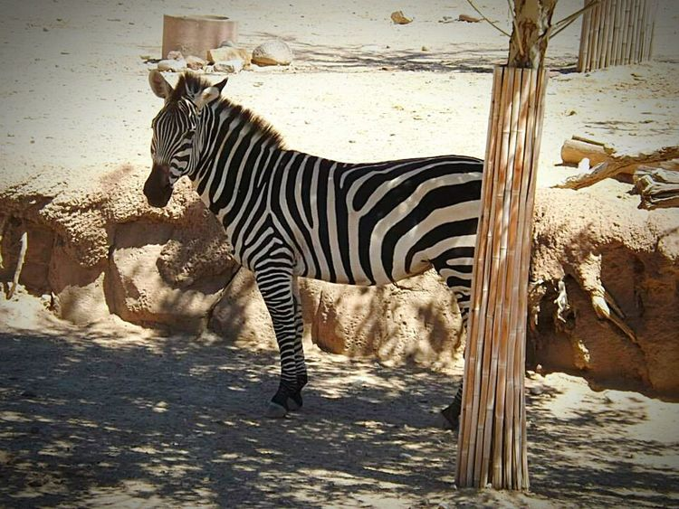 Zebra Zebras Zebra <3 Zebra♥ Zebra The Zoo Zebra. Beautiful Animals  Beautiful Animal Zebra Animal_collection