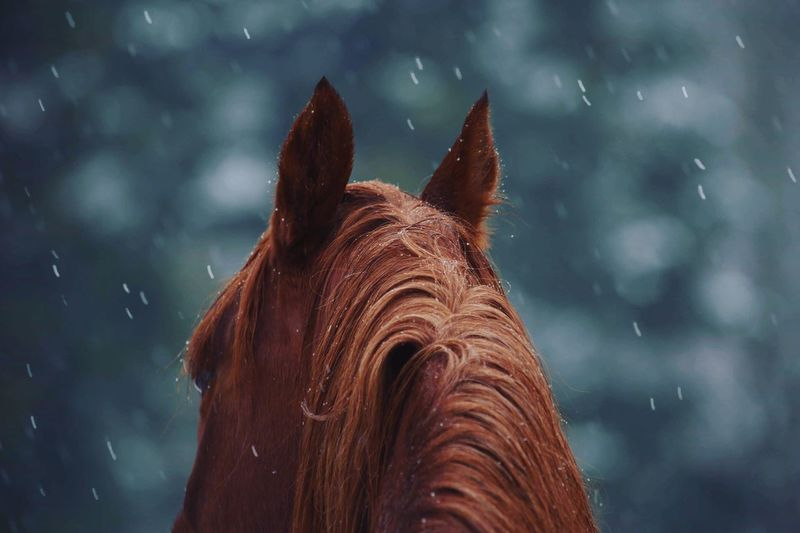 Horse in the snow Snow Arabianhorse Horses Horse EyeEm Selects One Animal Animal Wildlife Mammal Vertebrate First Eyeem Photo EyeEmNewHere