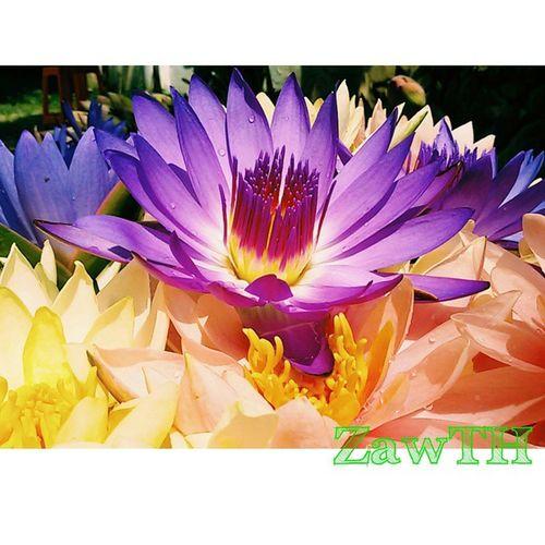 The noble flower. Though you flourish in the swamp …you are always pure.Zawth Mandalay Myanmar Myanmarphotos Igersmandalay Igersmyanmar Vscomyanmar Vscoflowers Instagram Ig_sharepoint Ig_worldphoto Instasize Igglobal Ig_great_shot_fla Igersflower Bsn_mobile Bsn_reflection Lotus Waterlili Rcnocrop