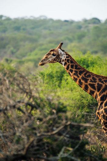 Side view of giraffe on land